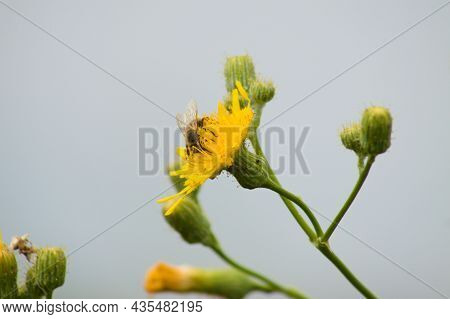 Fly On Perennial Sowthistle In Bloom Close-up View With Blue Blurred Background