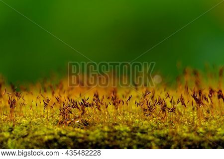 Close Up Shot Of Moss Sporangia On A Wall Surface Against Green Background