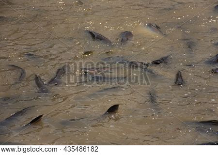 Iridescent Shark And Catfish And Freshwater Fish Eating Food From Thai People And Foreign Travelers
