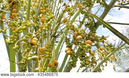 Damaged Date Palm Fruit. A Bunch Of Fresh Date Palms That Produce Incomplete Yields On The Plant. Se