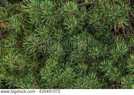 Green Coniferous Shoots Close Up. The Needles Were Short. Branches Of A Southern Tree. Image For Tex