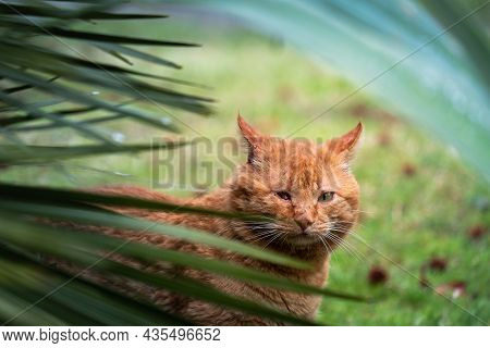 Wild Street Cat With Scars Without An Eye. One-eyed Cat. Ginger Cat In The Bushes Homeless Animal