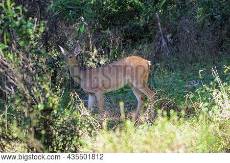 Deer In Battlefield Park In Florida