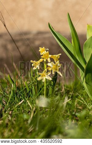 Vertical Photo Of Small Single Yellow Hyacinth Flower. Tiny Yellow Aromatic Hyacinth Blooming Outdoo