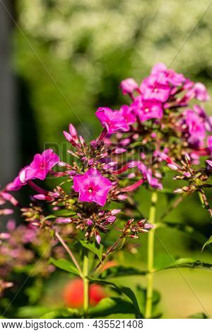 Purple-violet With White Center Fall Phlox Are Blooming In Green Blurry Background. Pink Perennial P