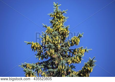 Beautiful Green Spruce With Cones On The Background Of  Blue Summer Sky. Elegant Tall Spruce With Nu