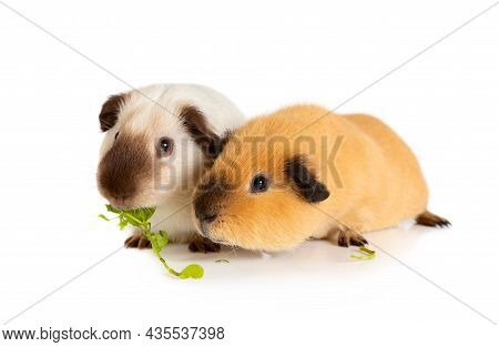 Lunch Time. Two Cutie Guinea Pigs Eating Juicy Greens In Front Of White Background