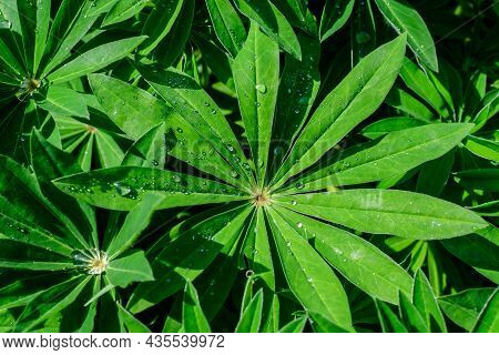 Close Up Of Vivid Green Leaves Of Lupinus, Commonly Known As Lupin Or Lupine, In Full Bloom And Gree