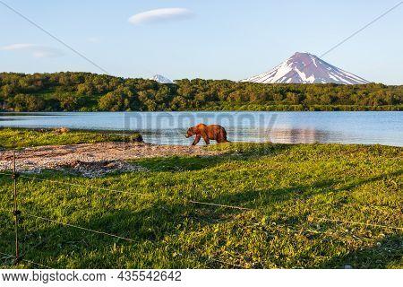 Brown Bear Or Ursus Arctos Beringianus Walking Near Kurile Lake Against The Background Of The Volcan