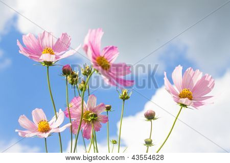 Bright Pink Spring Flowers On Blue Cloudy Sky Background