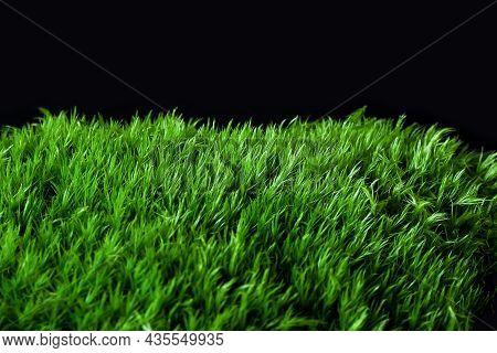 Moss Dicranum Scoparium On A Black Background. Dicranum Scoparium, Broom Forkmoss, Is Species Of Dic