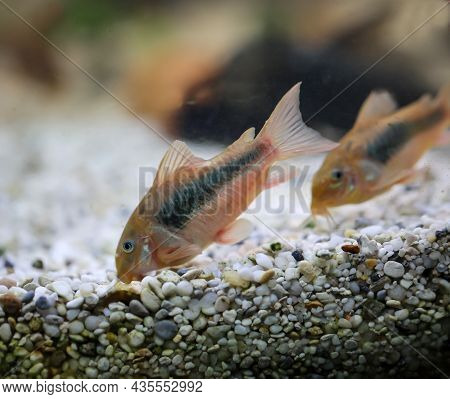 Several Metal Armored Catfish In An Aquarium In A Group.