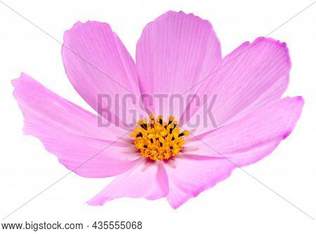 Cosmos Flower Isolated On White Background. Pink Cosmos. Clipping Path