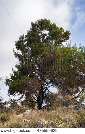 A Partially Burnt Old Aleppo Pine Tree After A Wildfire In The Judea Mountains Near Jerusalem, Israe
