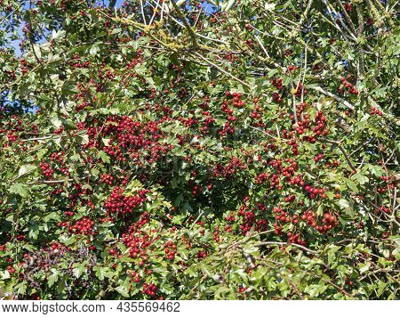 Abundant Red Berries On A Hawthorn Tree