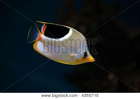 Tropické ryby Saddleback Butterflyfish
