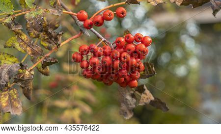 Rowan Berries On A Branch. Autumn Harvest. Ripe Red Rowan Berries Close-up Growing In Clusters On Th