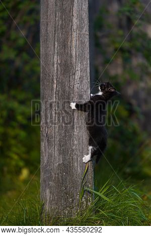 Small Black Kitten With White Paws Climbs A Gray Wooden Pole Against A Background Of Greenery. Kitty