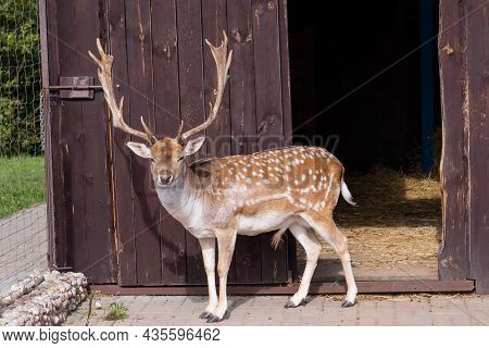 A Deer With Large Antlers In The Zoo Looks Into The Camera.