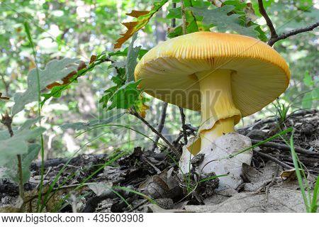 One Single Specimen Of Well Developed, Delicious  Caesar's Mushroom Or Amanita Caesarea In Natural H