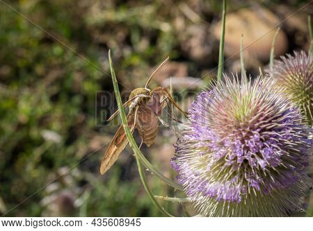 Hawk Moth Macro Detail Extracting Nectar From A Thistle In Springtime Bugs, Insect Macro