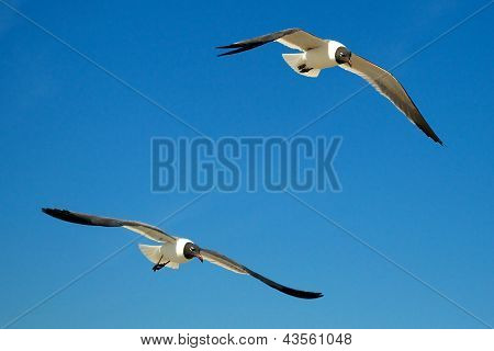Seagulls Diving Together