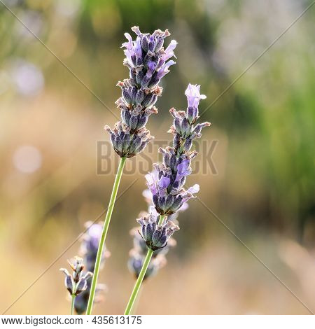 Two Heads Of Lavendula Close Up With Shallow Depth Of Fields