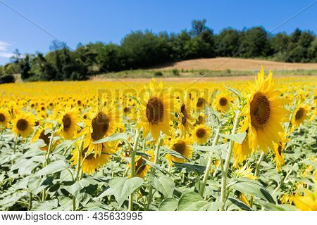 Sunflowers Field In Italy. Scenic Countryside In Tuscany With Deep Blue Sky.
