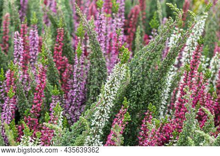 Selective Focus On Flowering Calluna Vulgaris (common Heather, Ling, Or Simply Heather).