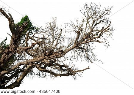 Leafless Branches Isolated On White Background, Wooden