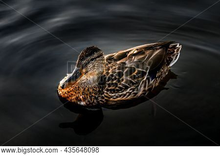 Birds And Animals In Wildlife Concept.a Duck Swims In Lake Or River With Blue Water. Closeup Perspec