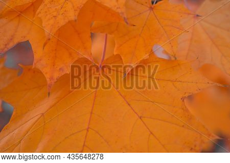 Autumn Leaves With Very Shallow Focus. Macro Of Maple Leaves. Selective Focus