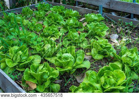 Beautiful Organic Green Butterhead Lettuce Or Salad Vegetable Garden On The Soil Growing,harvesting