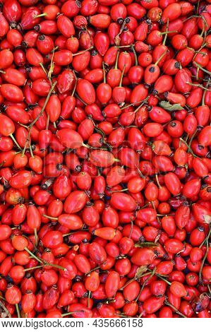 Rosehip Bushes. Healthy Fresh Red Autumn Fruits From Nature.