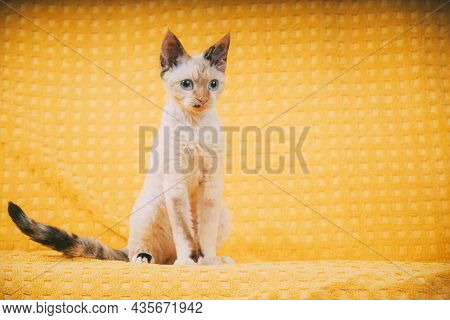 Funny Young White Devon Rex Kitten Kitty. Short-haired Cat Of English Breed On Yellow Plaid Backgrou