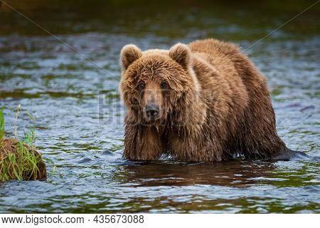 Kamchatka, The Bear Goes Fishing To The Lake.