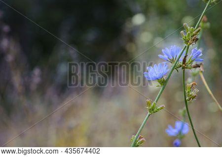 Cichorium. Blue Wildflowers, Natural Floral Background. Wild Autumn Chicory Flowers, Close-up, Blurr