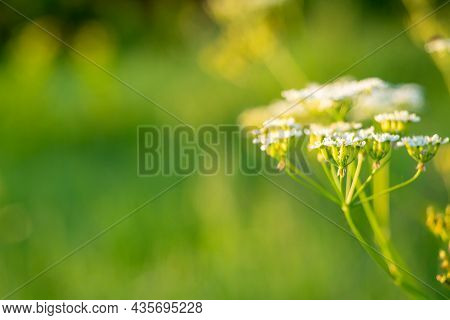 Close-up Of A Blooming Field Flower Parsnip At Sunset. Floral Background. Summer. Copy Space