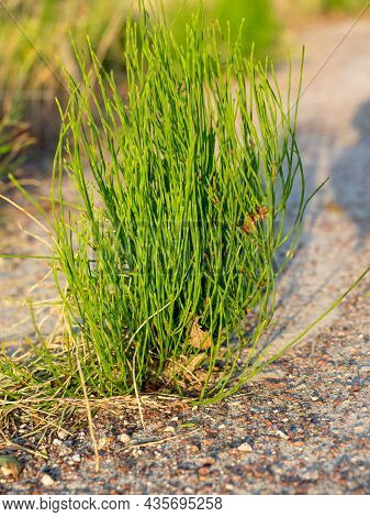 Close-up Of A Green Weed Sprouting Through The Asphalt. Vertical Photo