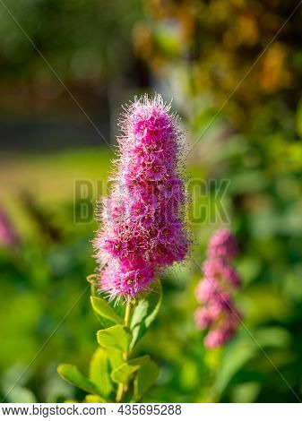 Close-up Of A Flowering Plant Buddleja With Pink Flowers. Vertcal Photo