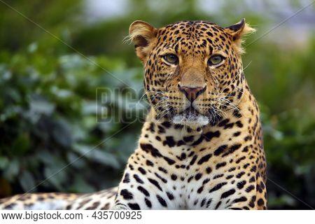 The Javan Leopard (panthera Pardus Melas), The Third Subspecies Of Leopard. Portrait Of A Rare Asian