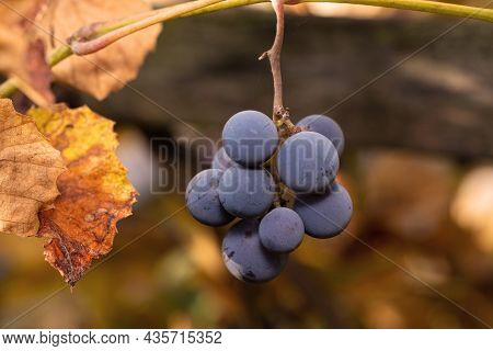 Small Bunch Of Grapes With Several Grapes On The Vine