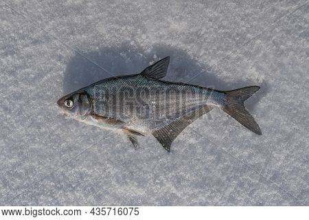 Blue Bream Fish On Snow. Winter Ice Fishing.