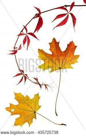 Two Beautiful Orange Yellow Maple Leaves And A Dark Red Twine Bow Of Wild Wine On White Background,