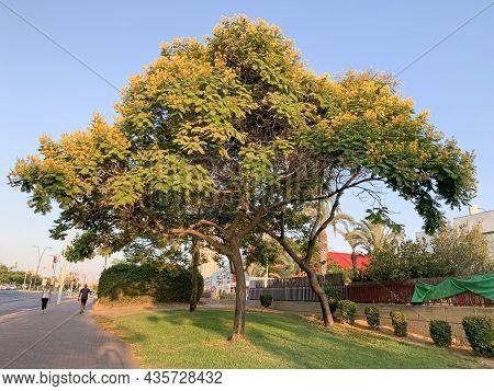 Beer Sheva, Israel - July 24, 2021: Tree In Urban Landscaping Doubtful Peltoforum Or Yellow Flame Or