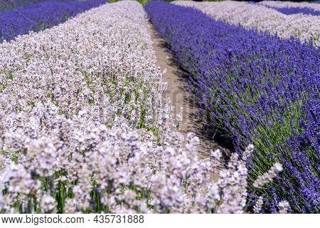 Bushels Of Purple Lavender Flowers Plants Growing In A Field