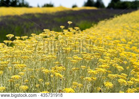 Tons Of Yellow Lavender Flowers Growing In A Field