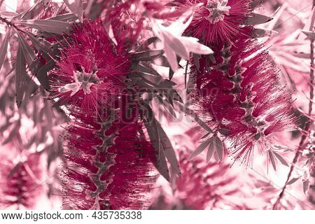 Red Magenta Tropical Background With A Flowers Of Callistemon Viminalis, Colorful Blooming Of Exotic