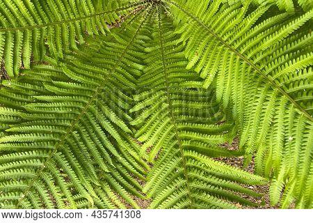 Green Fern Leaves. Tropical Plant Fern Texture.