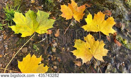 Autumn Composition With Yellow Maple Leaves. Fallen Golden Leaves In Creek